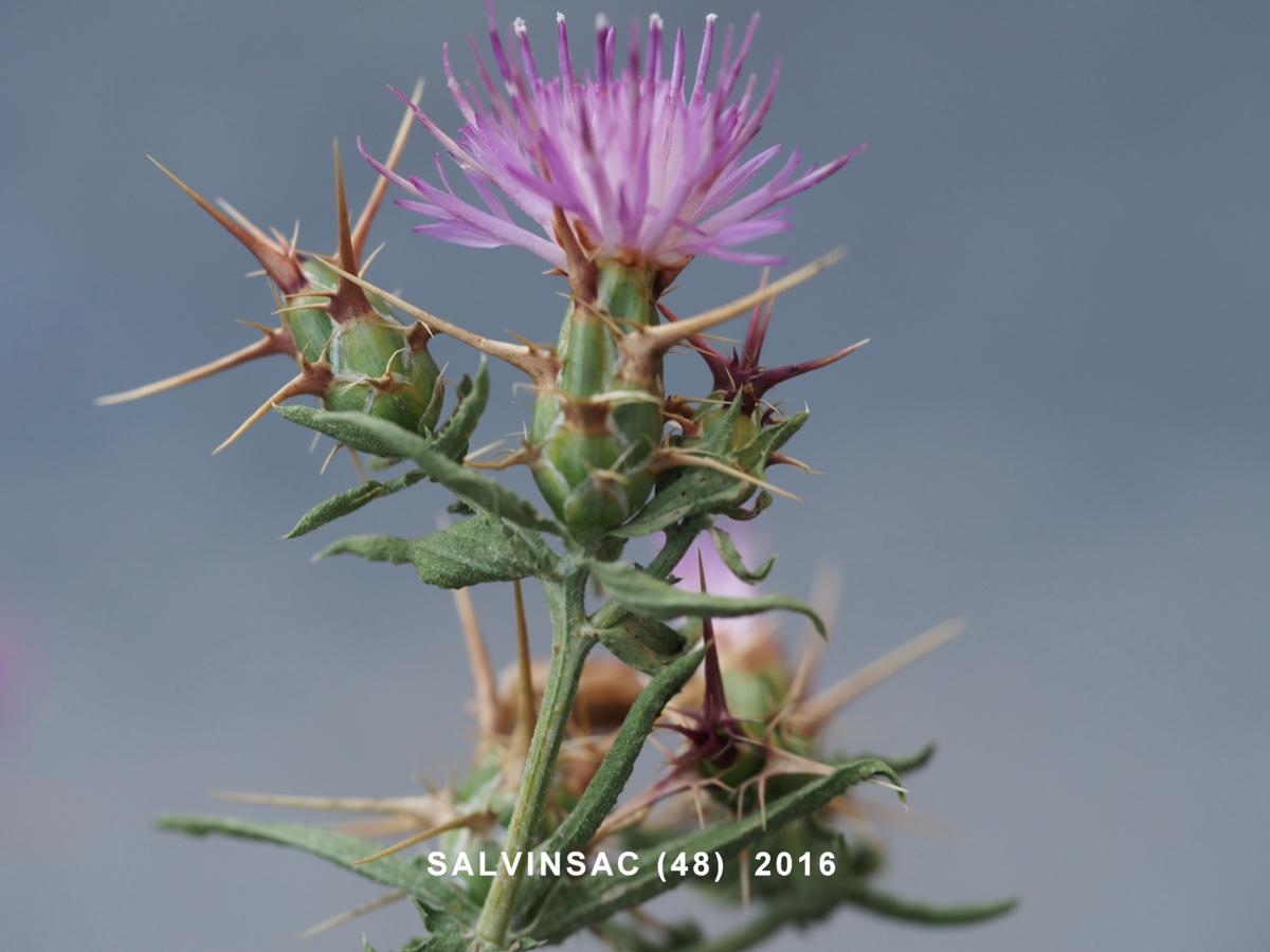 Star-thistle, Red plant