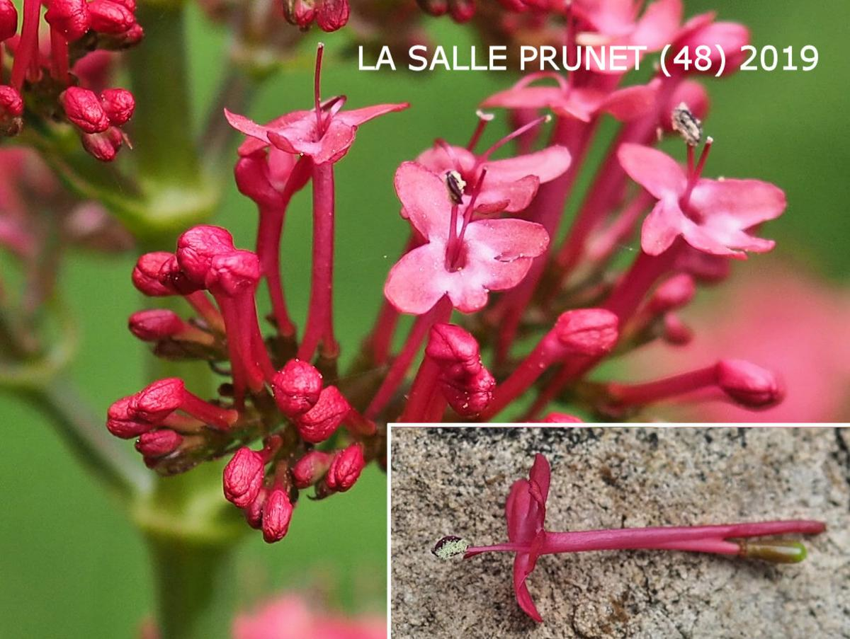 Valerian, Red flower