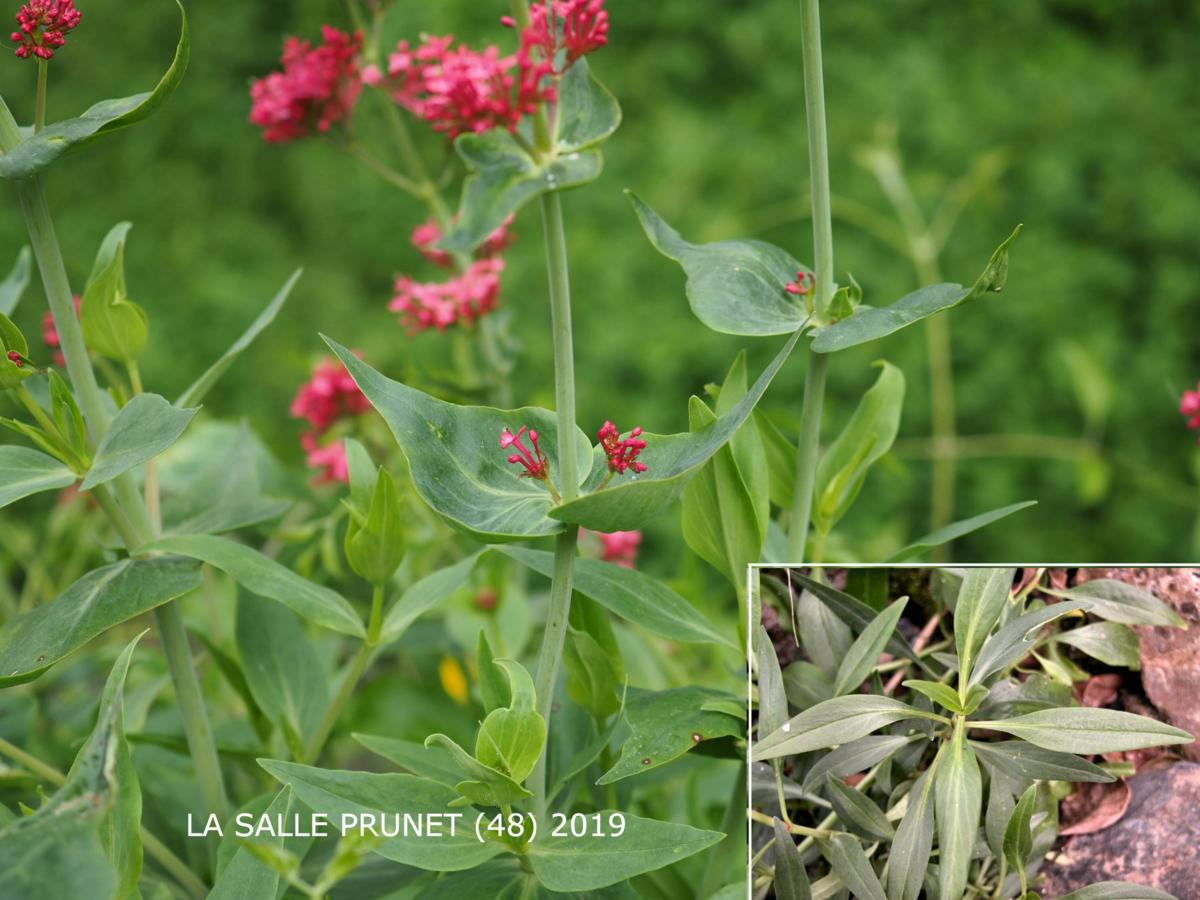 Valerian, Red leaf