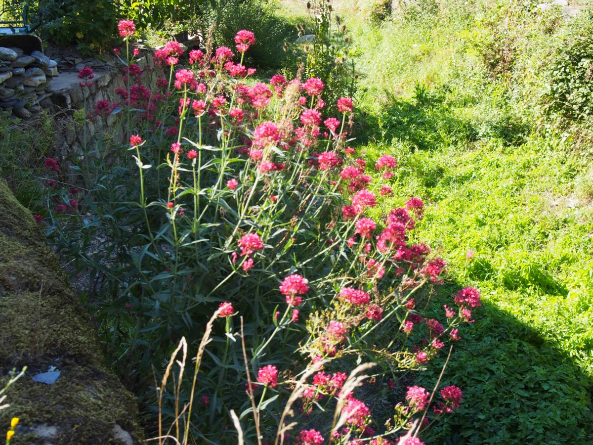 Valerian, Red plant