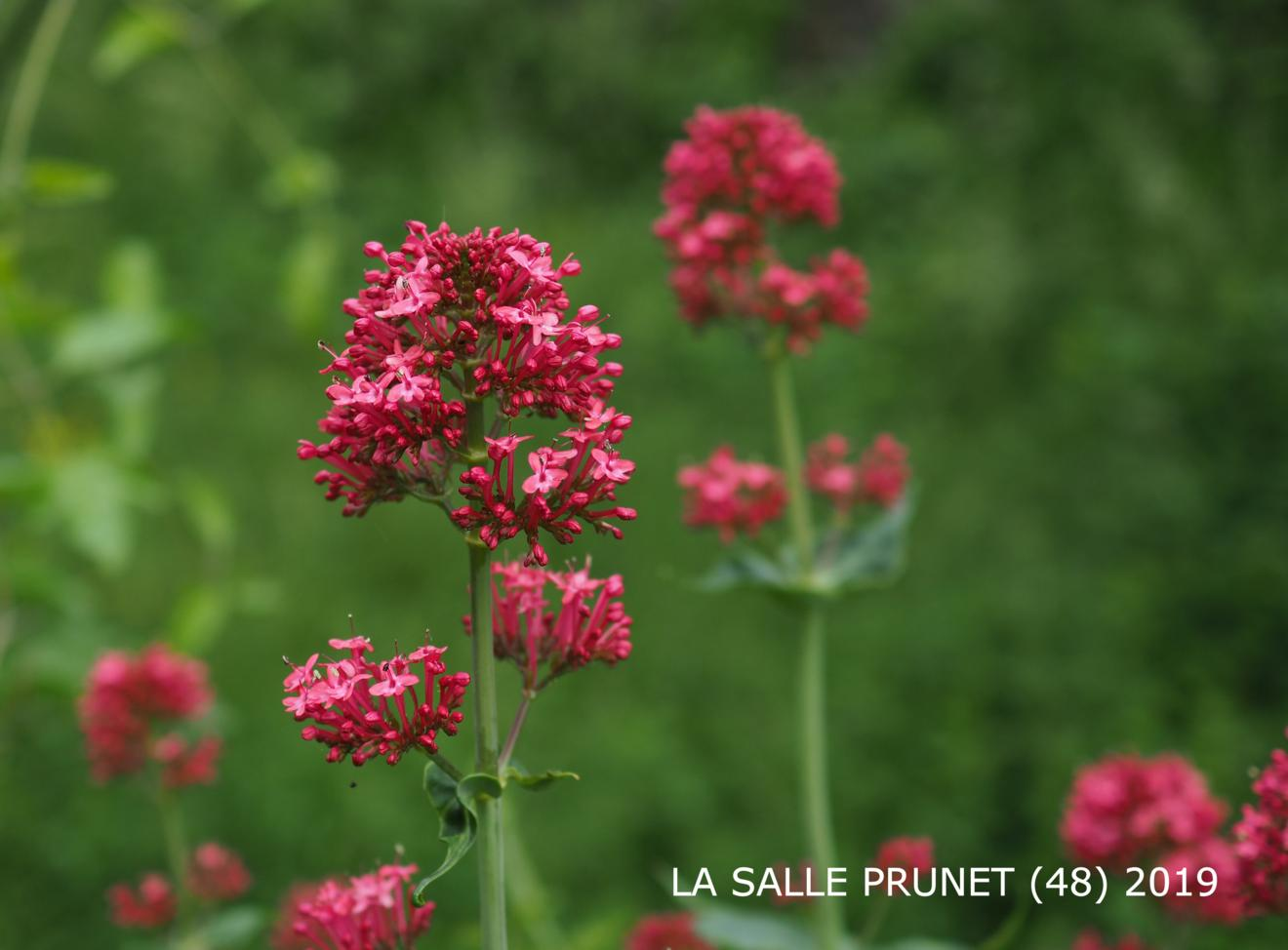 Valerian, Red