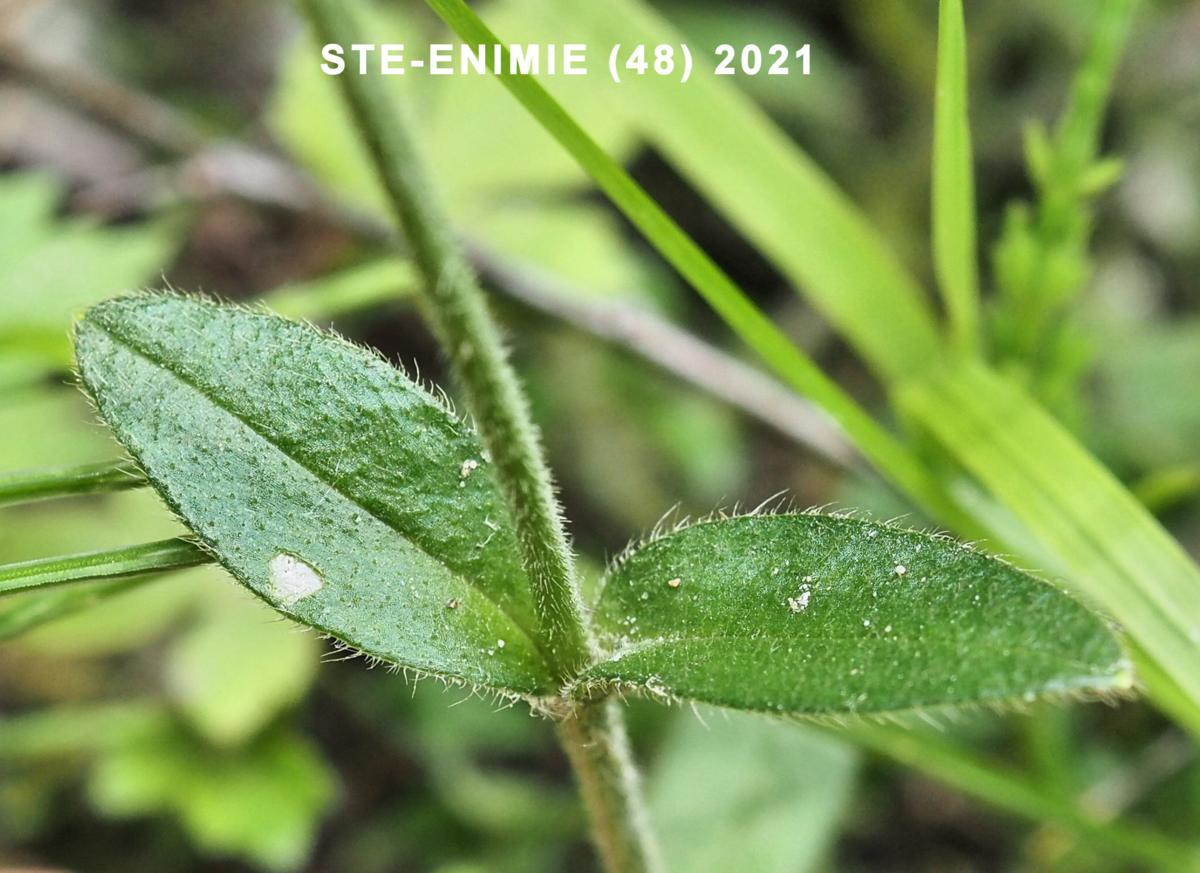 Mouse-ear, Common leaf