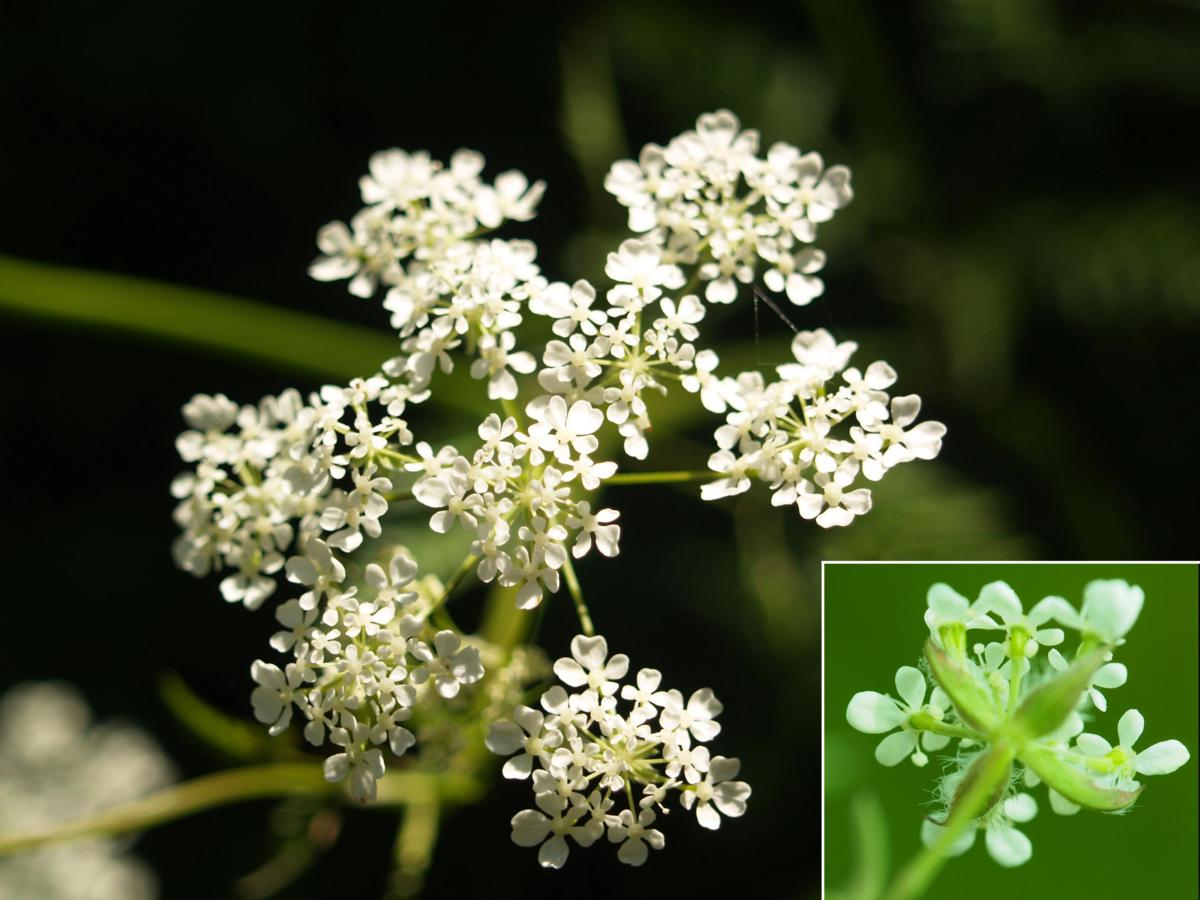 Chervil, Golden flower