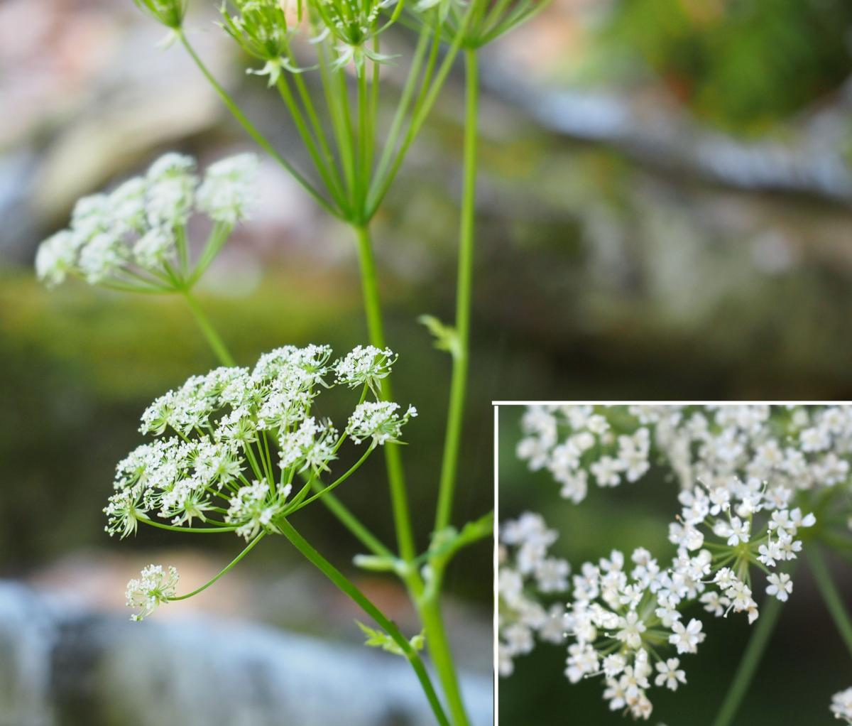 Chervil, [Upright] flower