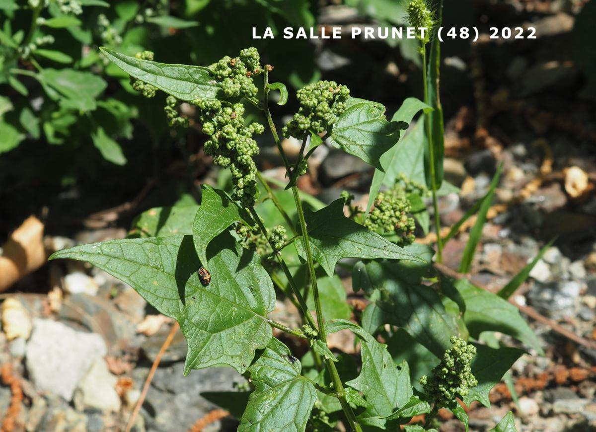 Goosefoot, Maple-leaved plant