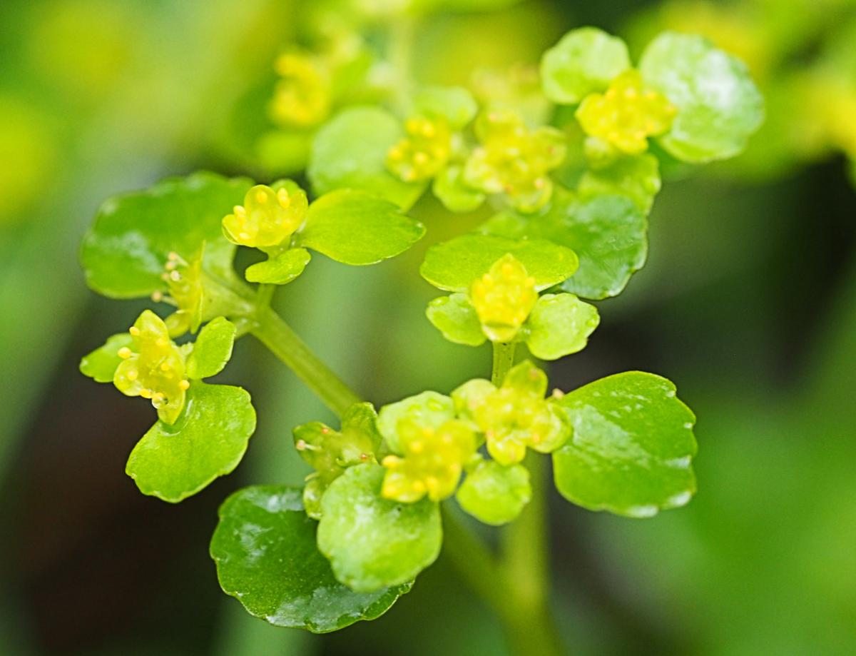 Saxifrage, Opposite-leaved Golden flower
