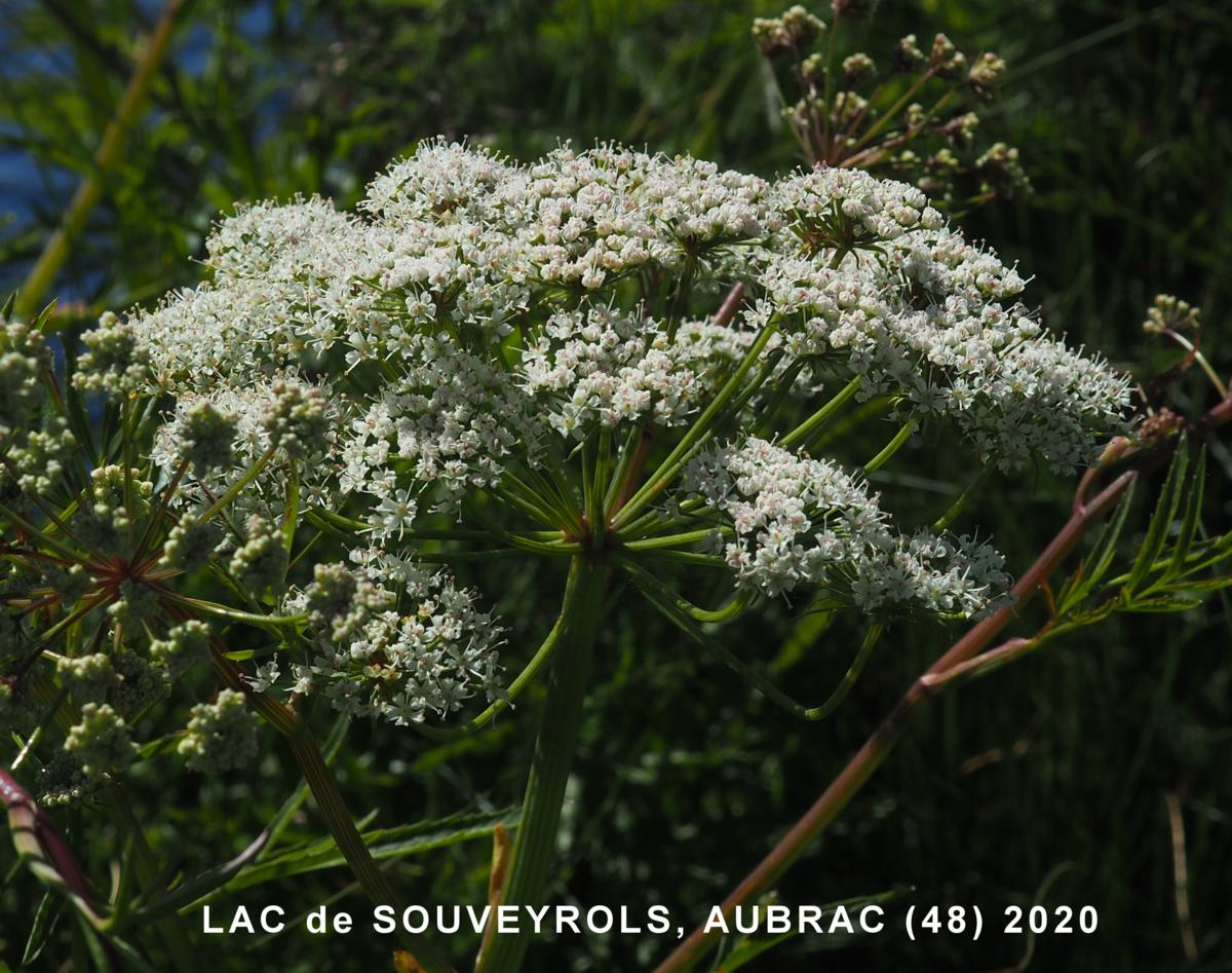 Hemlock, Water flower
