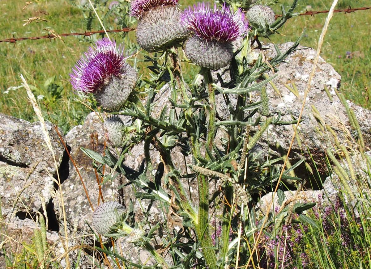 Thistle, Woolly leaf