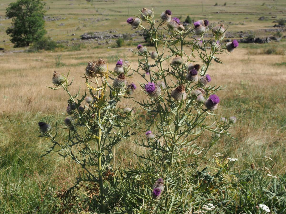 Thistle, Woolly plant