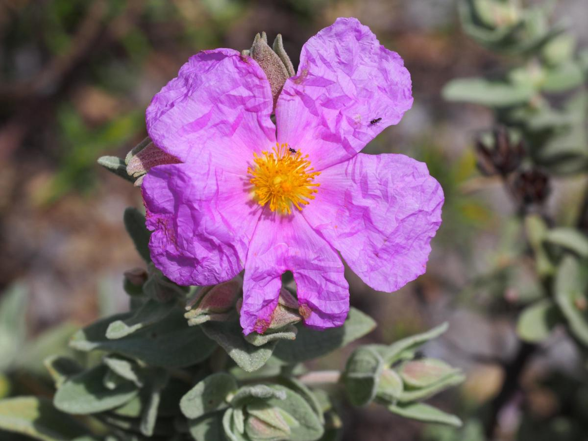 Cistus, Grey-leaved flower