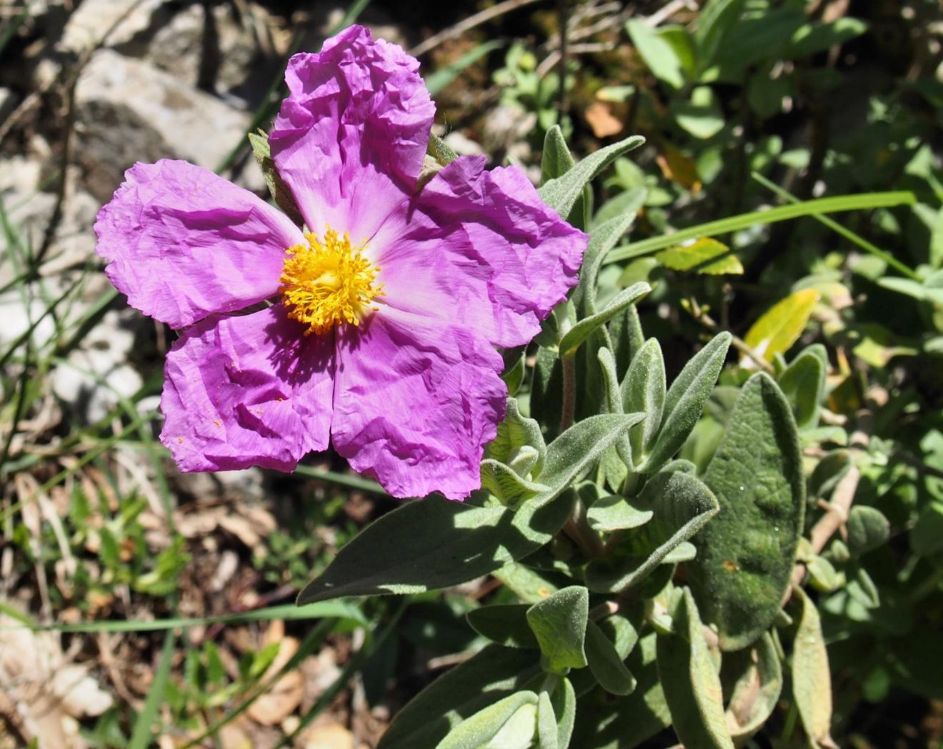 Cistus, Grey-leaved