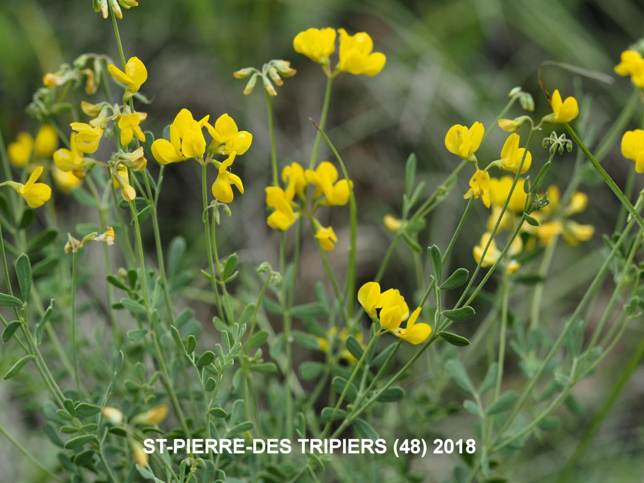 Scorpion vetch, [Glaucous]