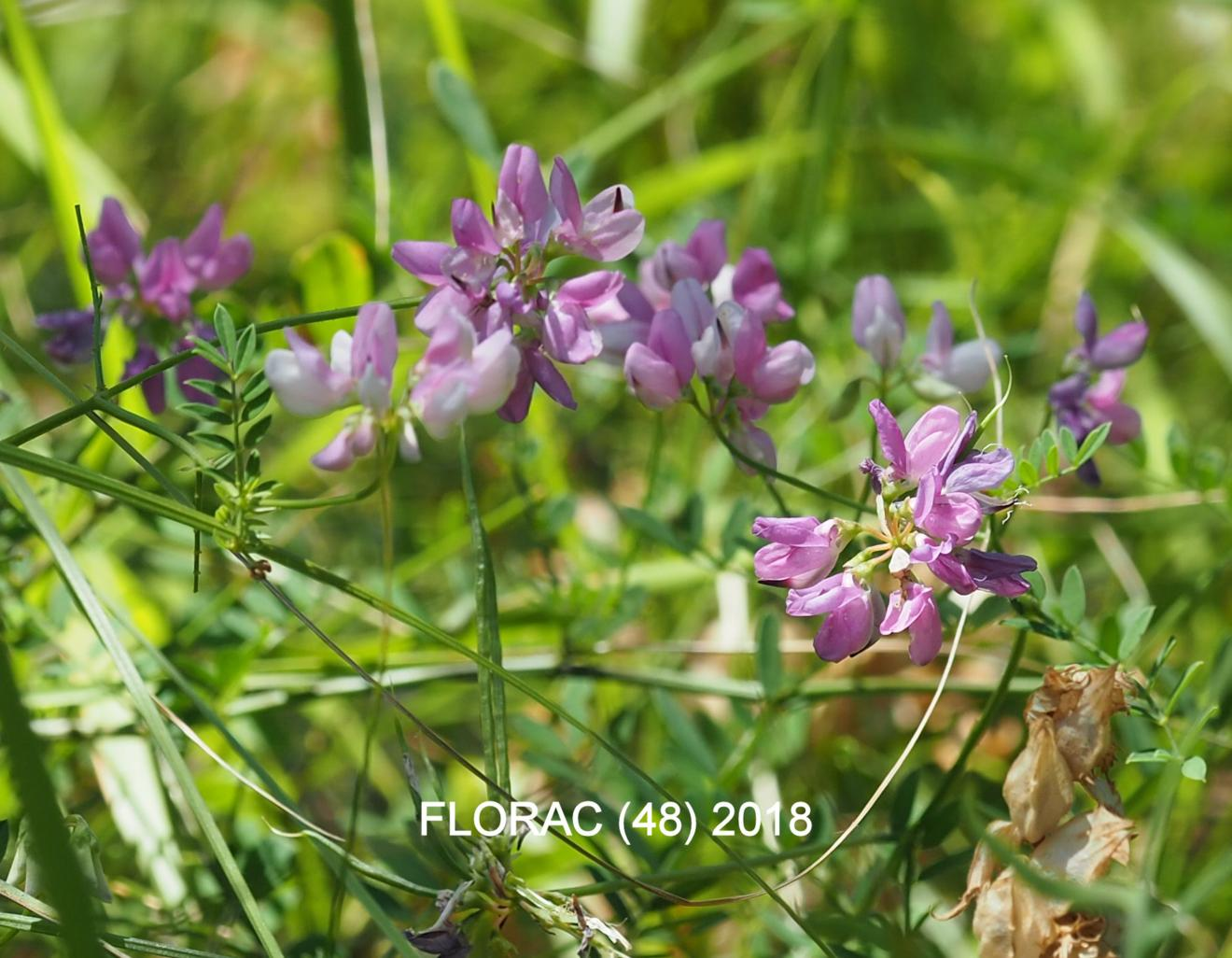 Vetch, Crown