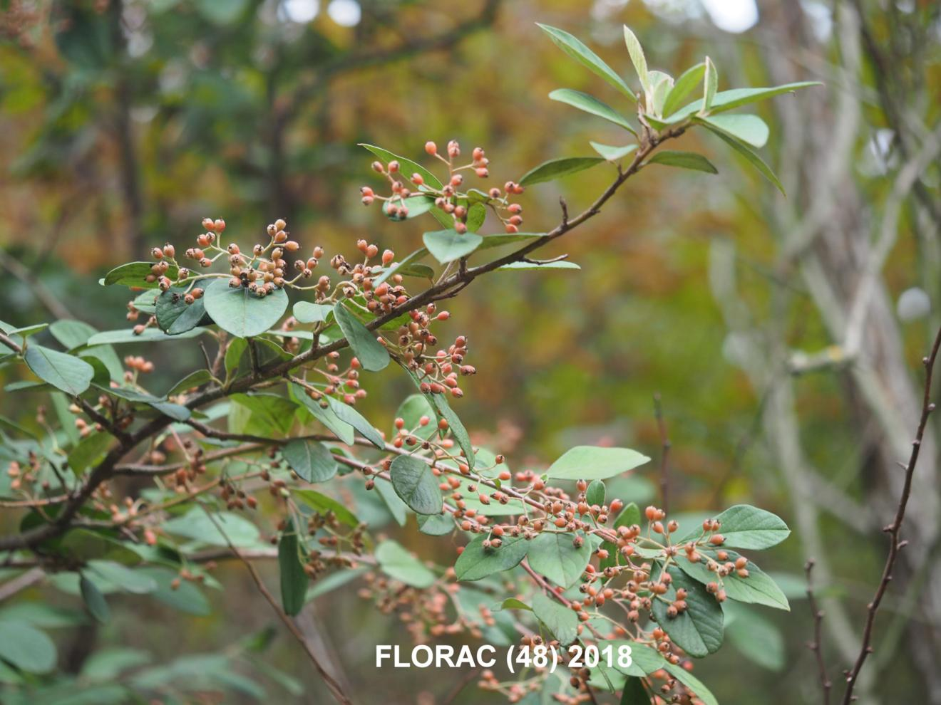 Cotoneaster, Late