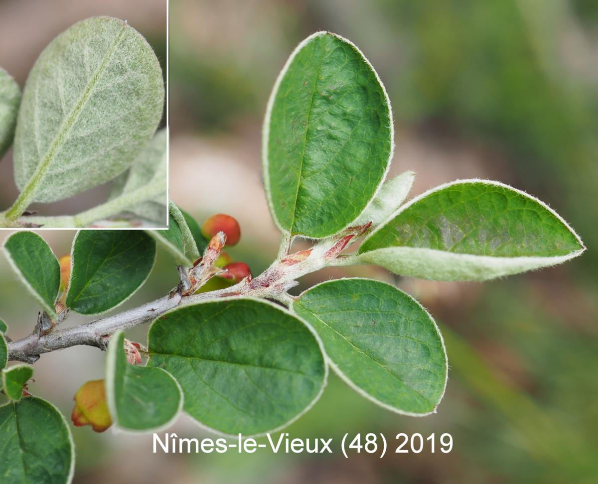 Cotoneaster, Wild leaf