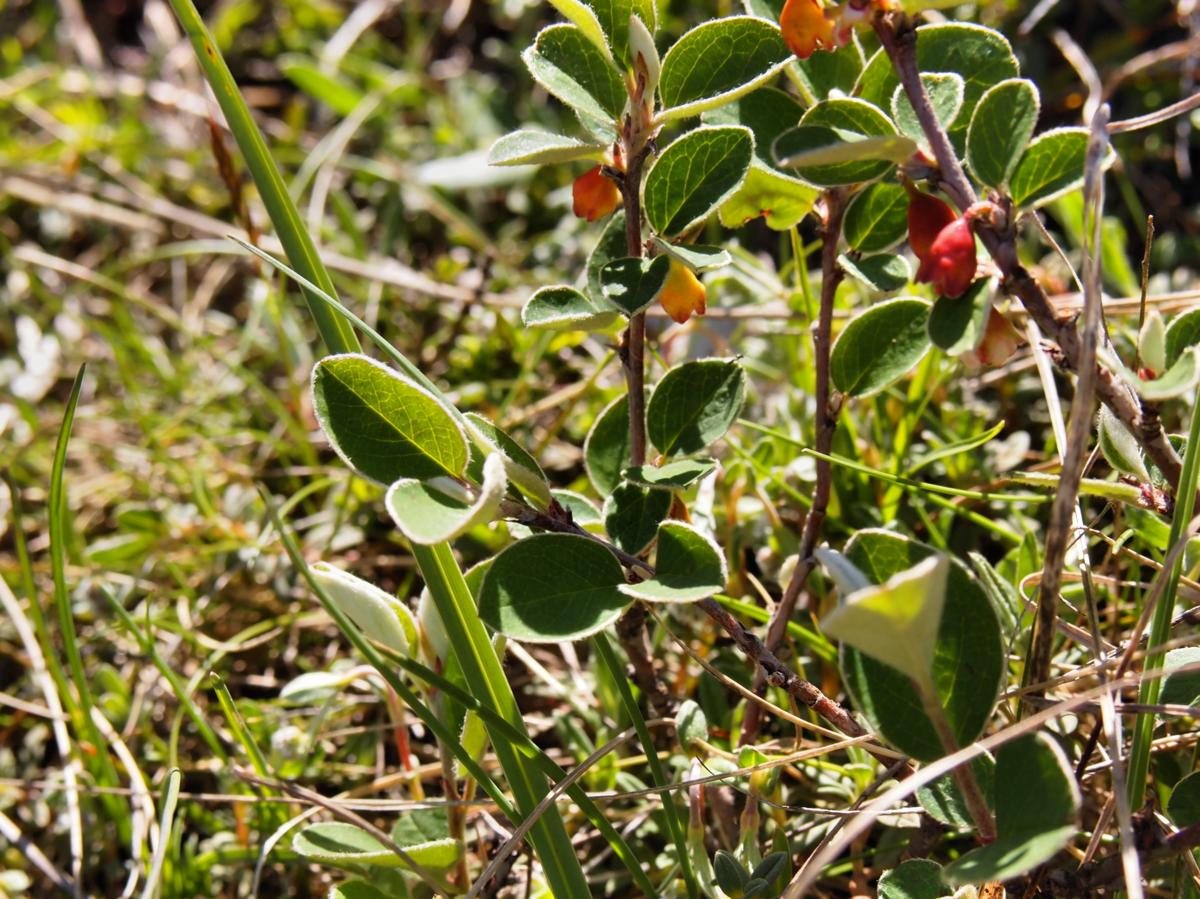 Cotoneaster, Wild plant