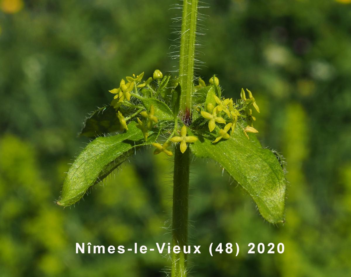 Crosswort flower