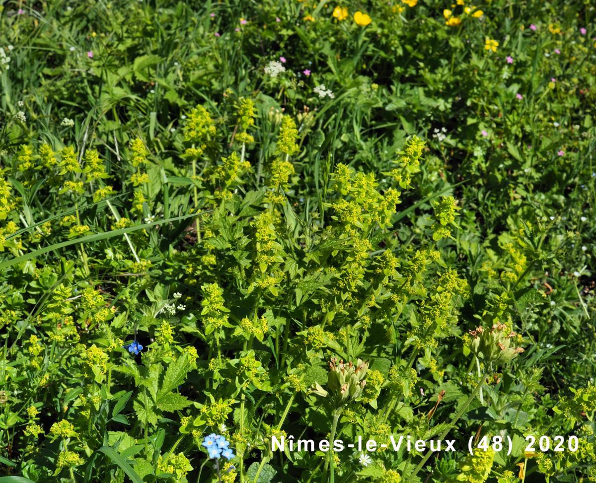 Crosswort plant