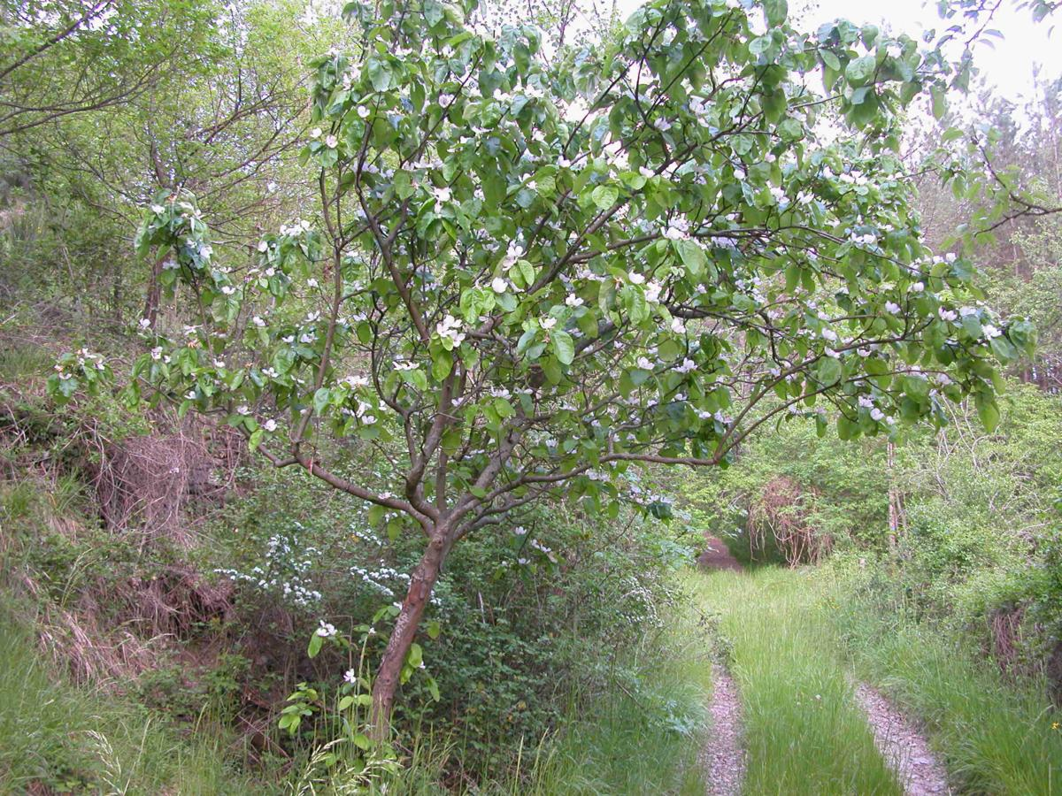 Quince plant