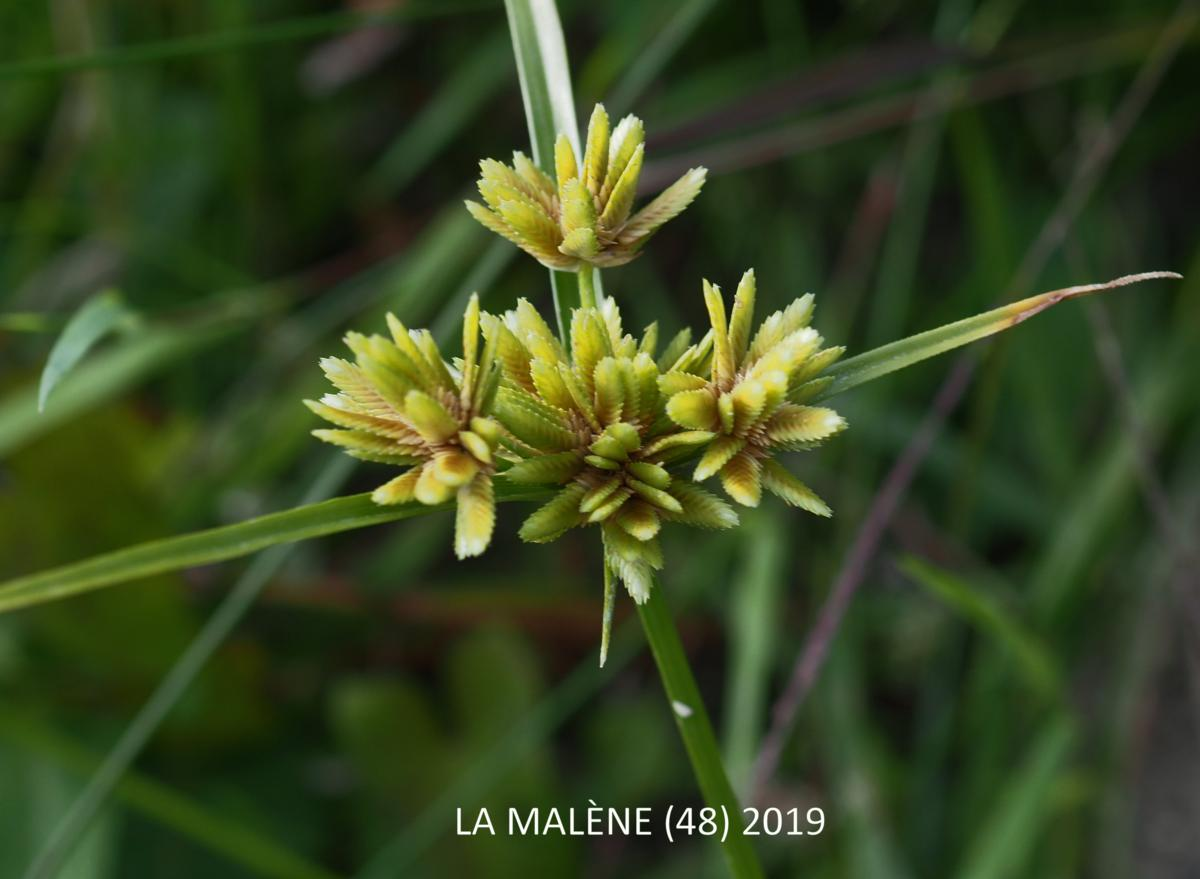 Sedge, Umbrella flower