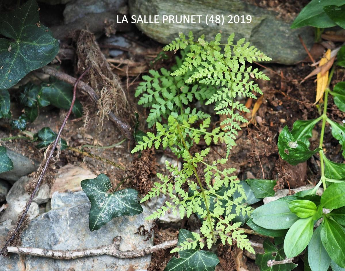 Fern, Brittle Bladder plant
