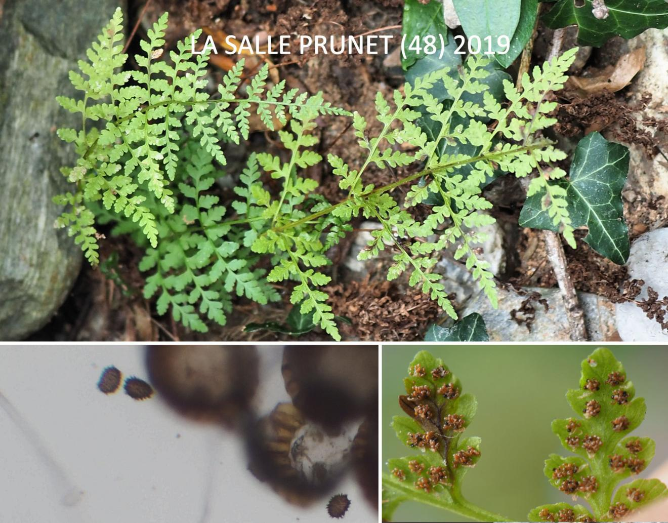 Fern, Brittle Bladder