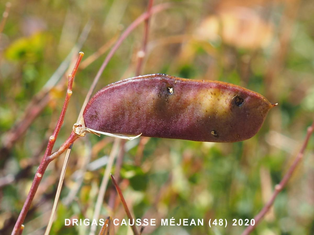 Broom, Sessile fruit