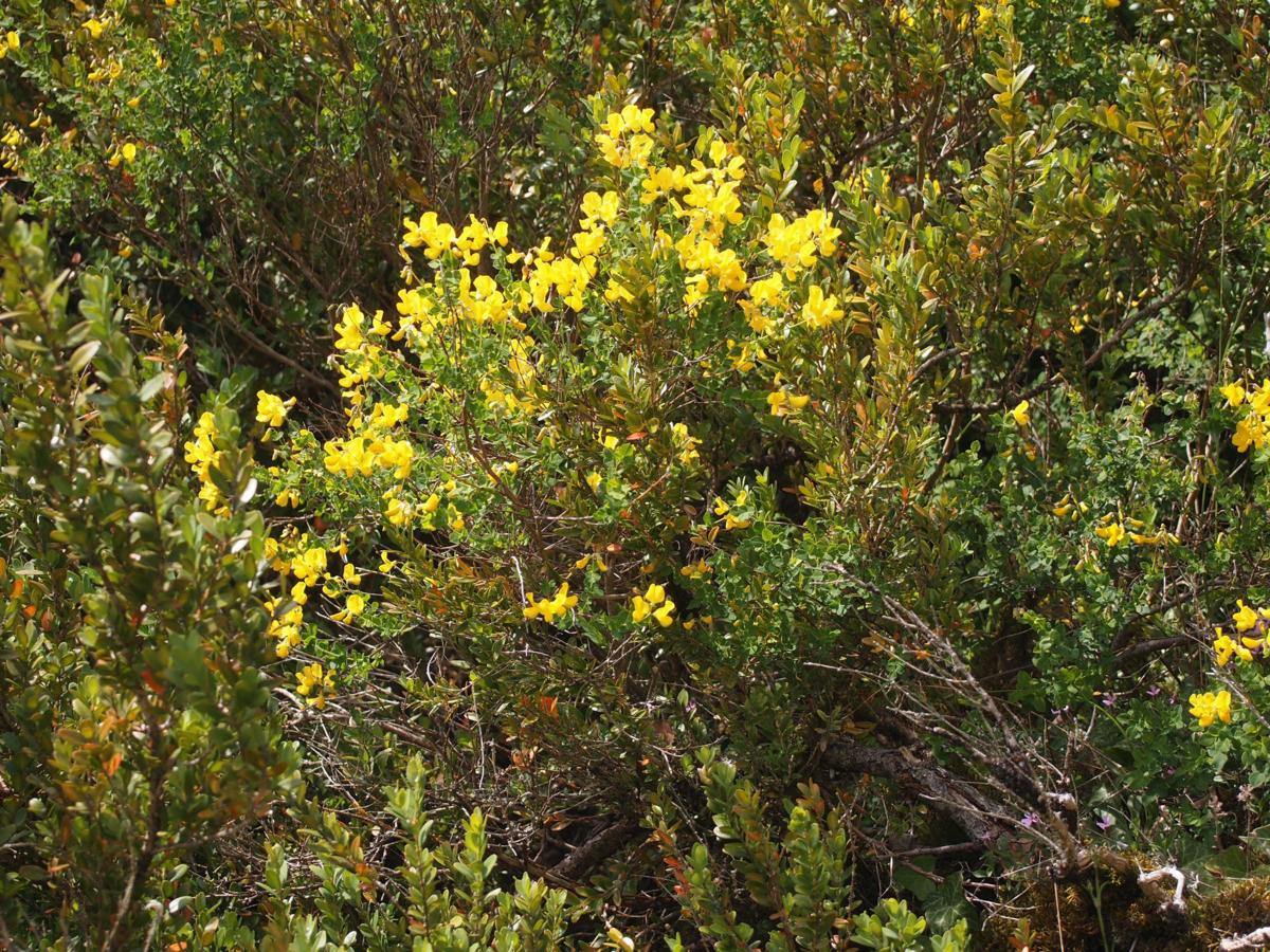 Broom, Sessile plant