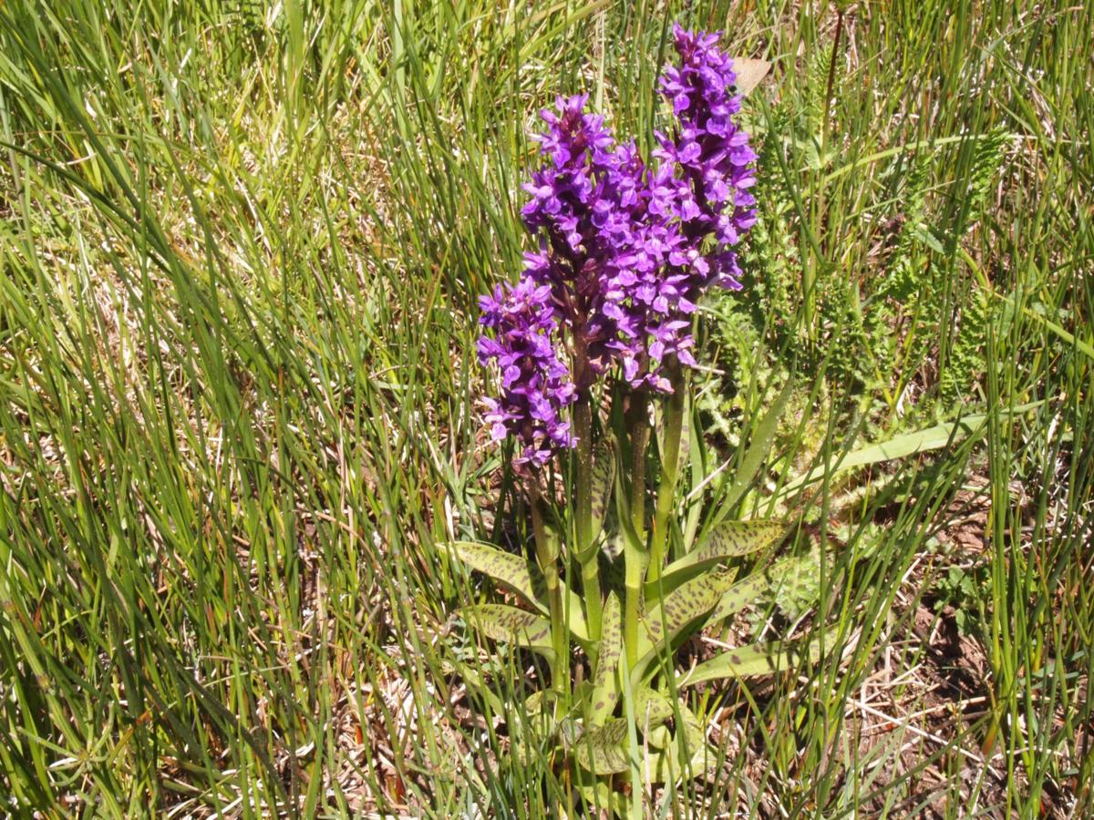 Orchid, Broad-leaved Marsh plant
