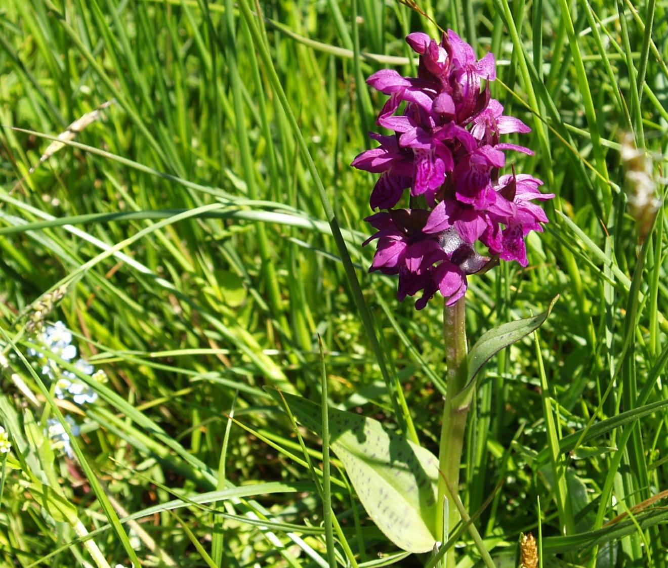Orchid, Broad-leaved Marsh