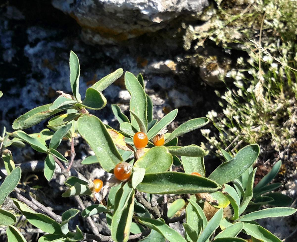 Mezereon, Alpine fruit