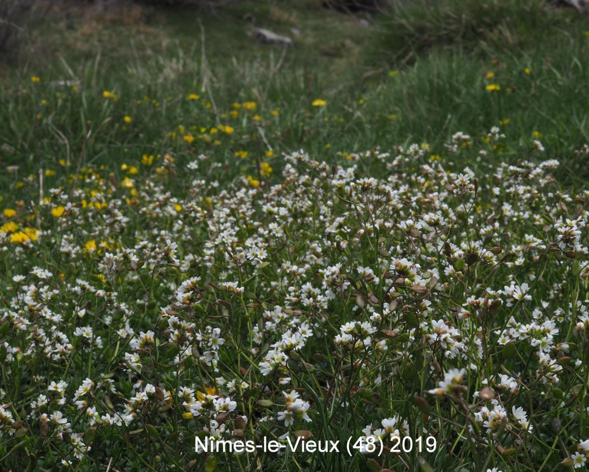 Whitlow Grass, Spring plant