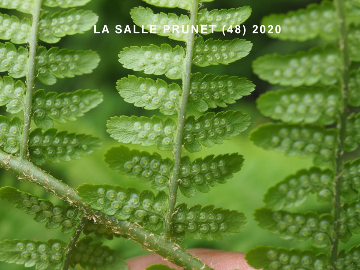 Fern, Male flower