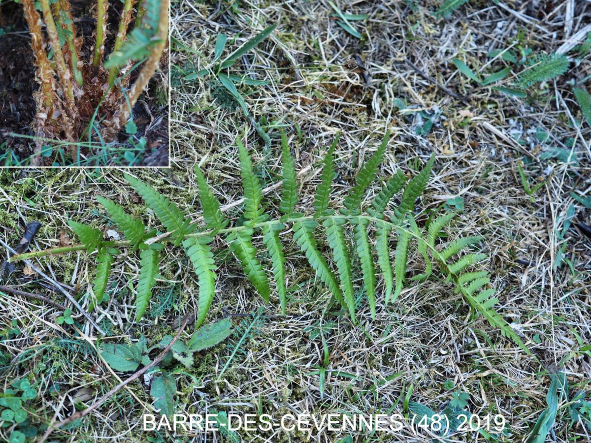 Fern, Mountain Male leaf