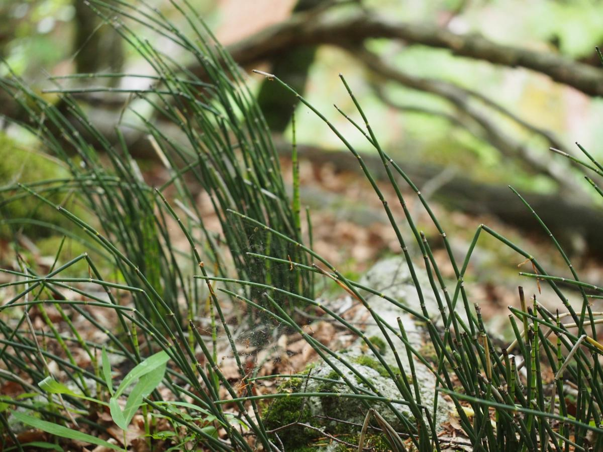 Horsetail, Rough plant