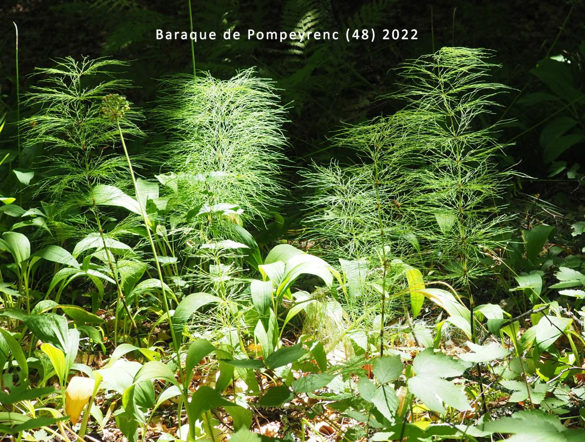 Horsetail, Wood plant