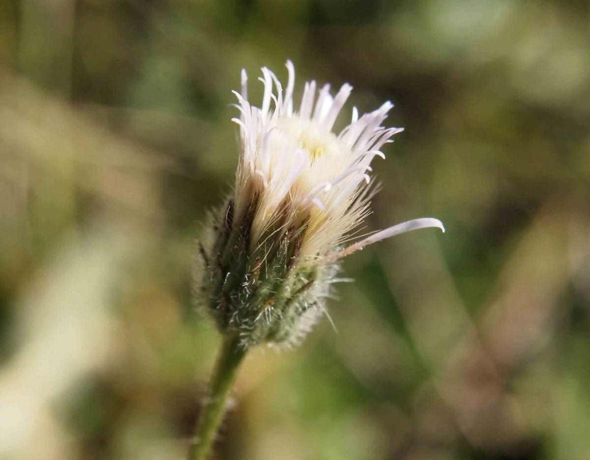 Fleabane, blue flower