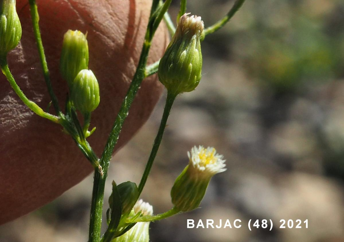 Fleabane, Canadian flower