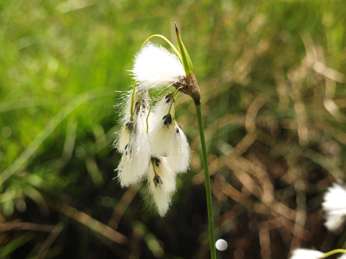 Cotton Grass, Broad-leaved flower
