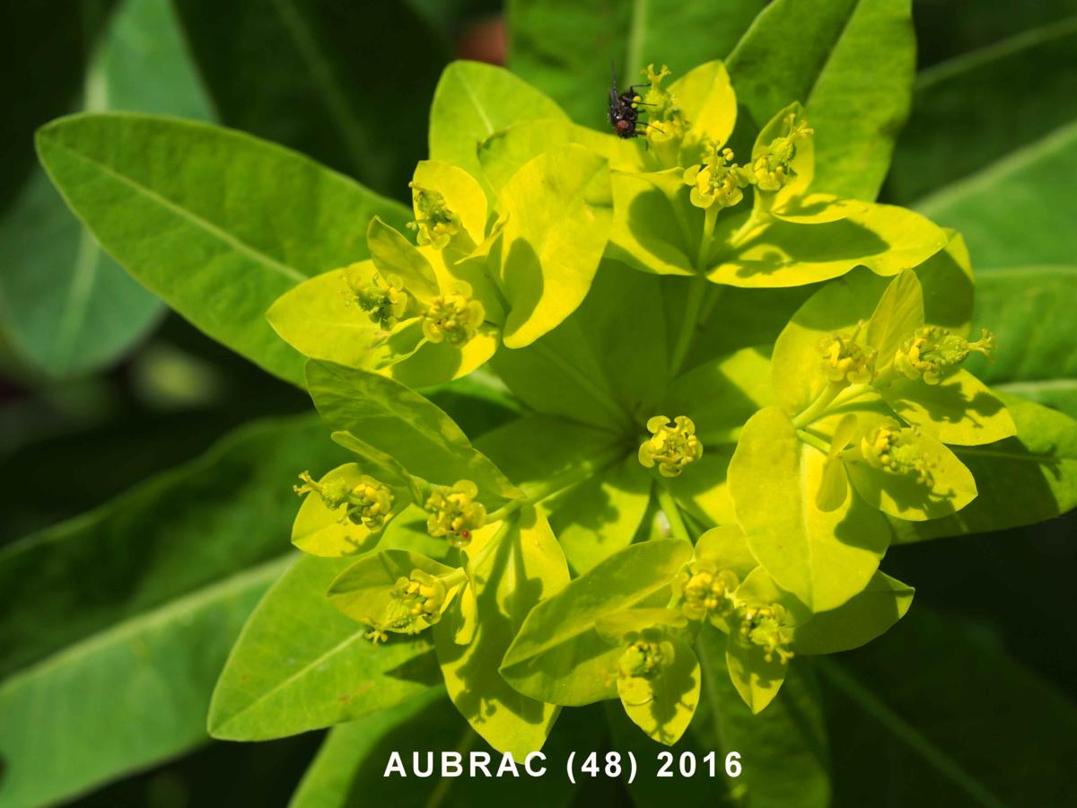 Spurge, Irish flower