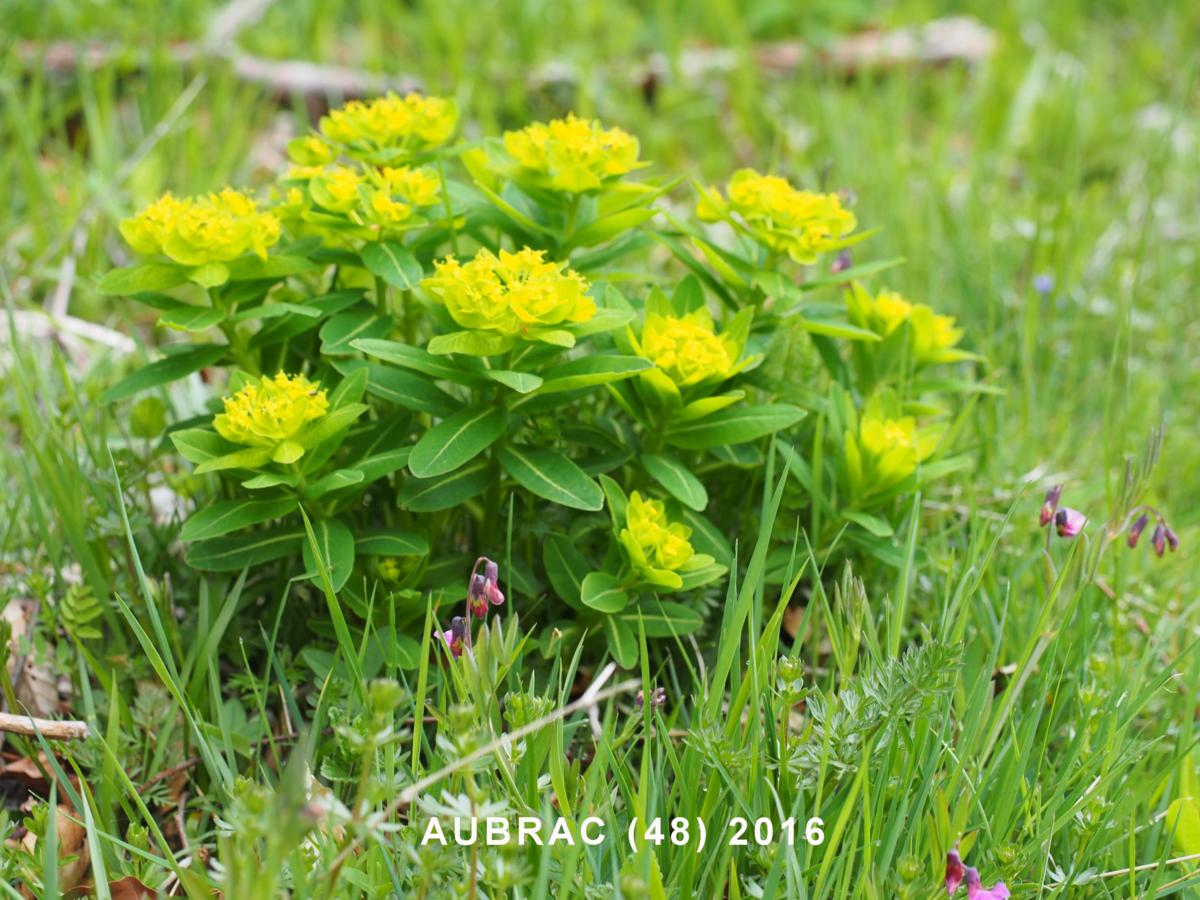 Spurge, Irish plant