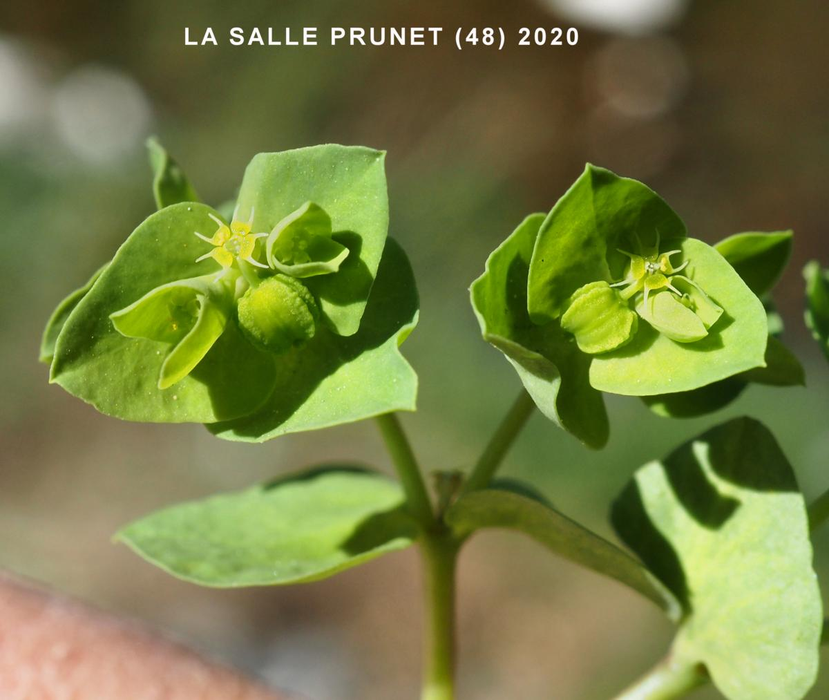 Spurge, Petty fruit