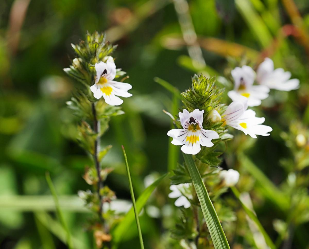 Eyebright, Common (of the mountains) flower