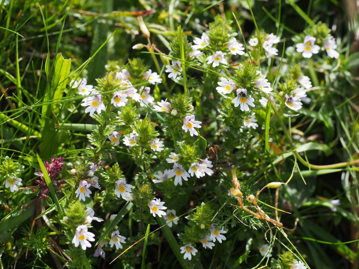 Eyebright, Common (of the mountains) plant