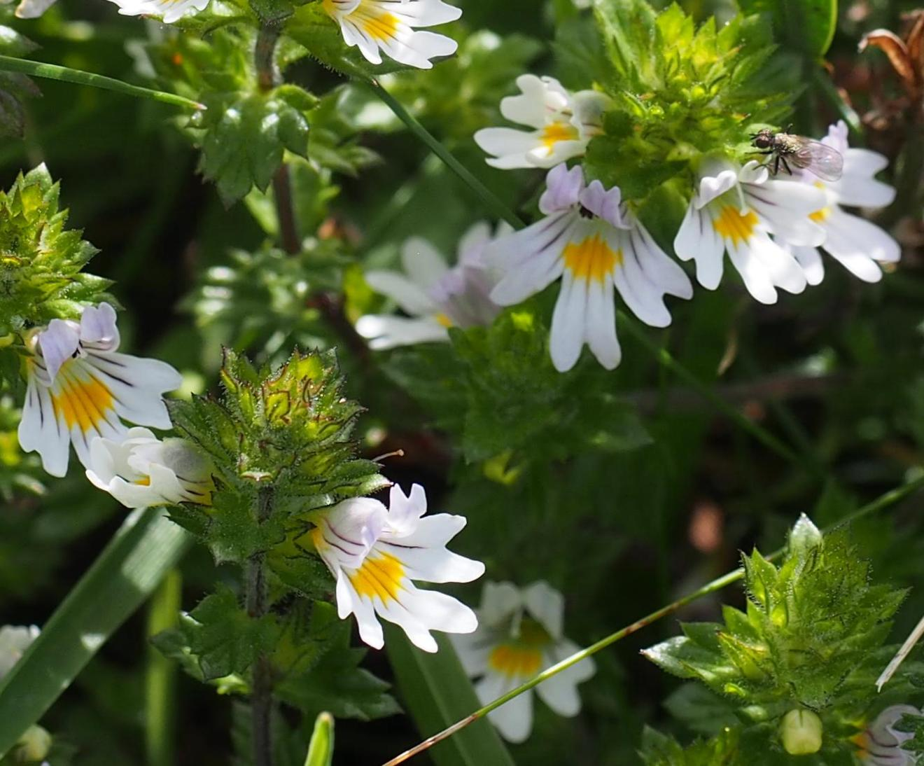 Eyebright, Common (of the mountains)