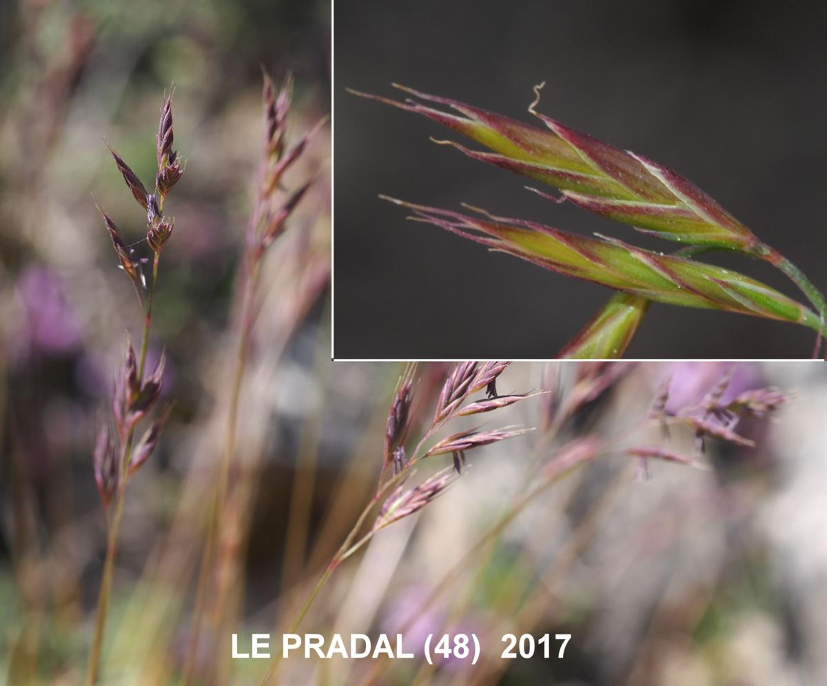 Fescue, Christian Bernand's flower