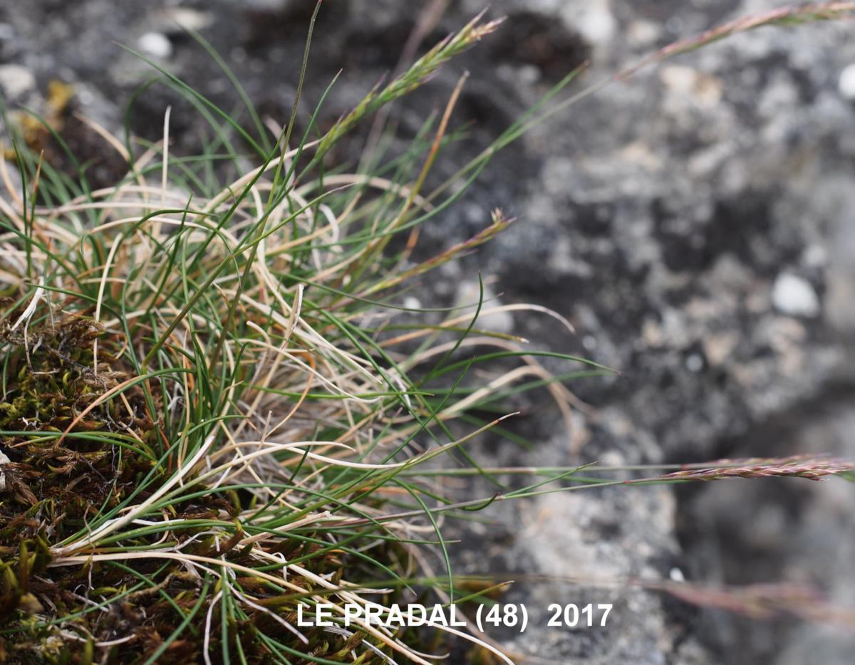 Fescue, Christian Bernand's leaf