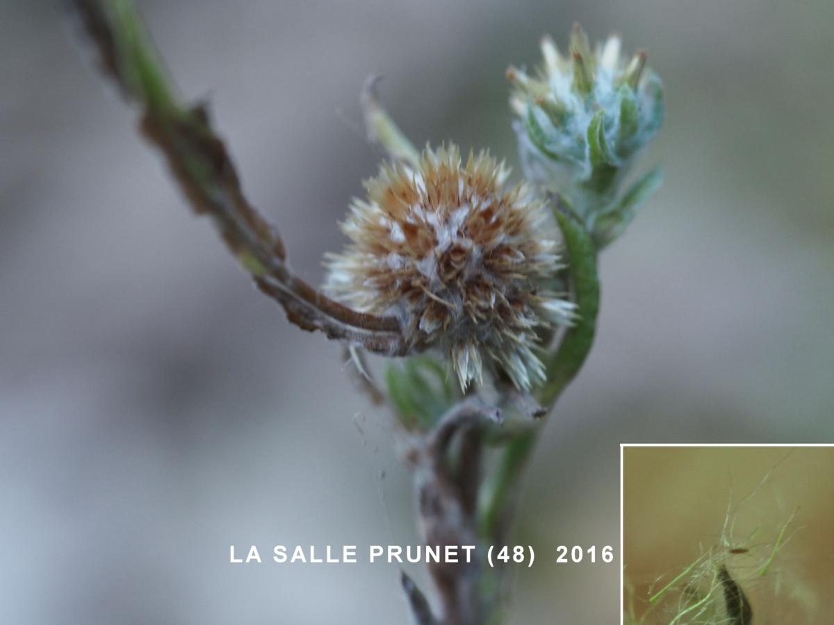 Cudweed, Common fruit