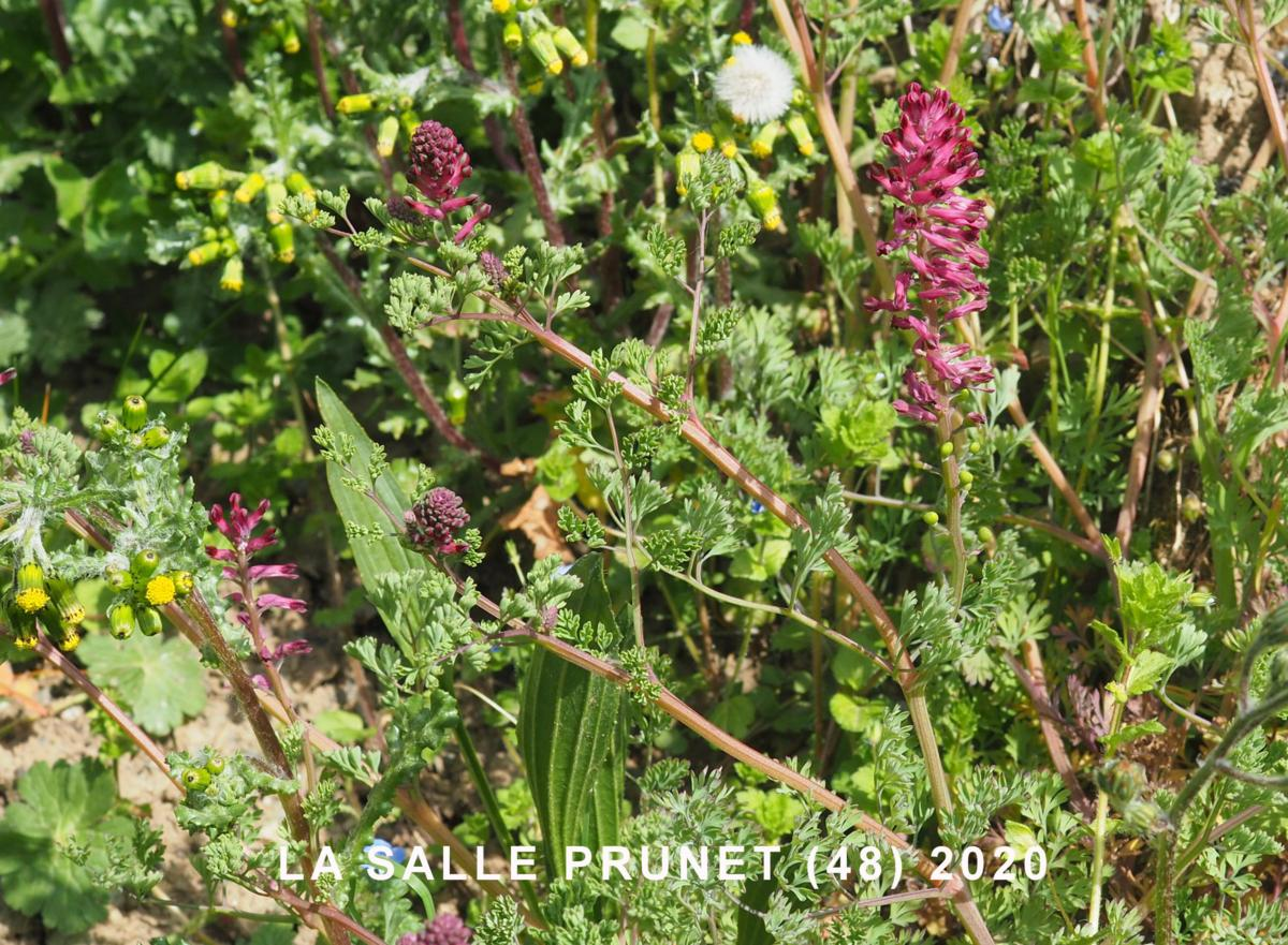 Fumitory, Common plant