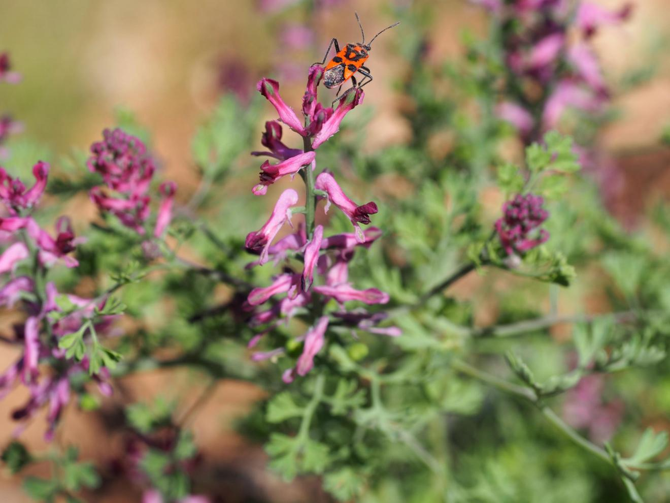Fumitory, Common